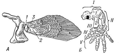 Рис. 2. Преобразование передней конечности при переходе к наземному образу жизни: А — кистепёрая рыба; Б — Древнейшее наземное позвоночное — стегоцефал; 1 — плечевая кость; 2 — лучевая кость; 3 — локтевая кость; I — плечо; II — предплечье; III — запястье; IV — пясть; V — фаланги пальцев. Конечности.