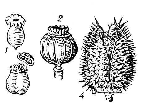 Рис. 1. Коробочки, вскрывающиеся: 1 — зубчиками (примула); 2 — дырочками (мак); 3 — крышечкой (белена); 4 — створками (дурман). Коробочка.