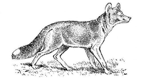 Рис. к ст. Красный волк. Красный волк.