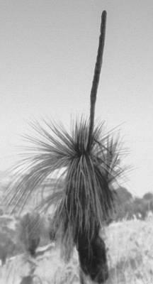 Ксанторрея древовидная (Xanthorrhoea arborea). Ксанторрея.
