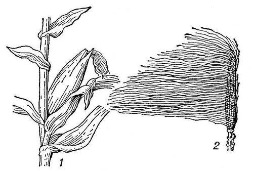 Рис. 2. Кукуруза: 1 — часть растения с початком; 2 — початок без обёртки. Кукуруза.