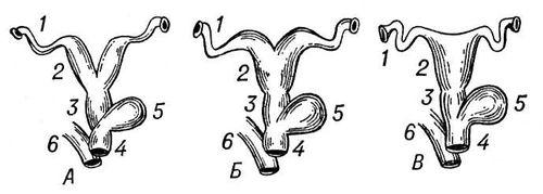 Различные типы матки у плацентарных млекопитающих: А — двойная матка, Б — двурогая матка, В — простая матка; 1 — яйцевод, 2 — матка, 3 — влагалище, 4 — мочеполовой синус, 5 — мочевой пузырь, 6 — прямая кишка. Матка.