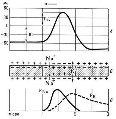 Рис. 2. Схема, иллюстрирующая механизм возникновения потенциала действия (ПД) в нервном волокне: А — изменения мембранного потенциала; Б — схематическое изображение ионных токов; В — изменения проницаемости мембраны для ионов натрия (P<sub>Na</sub>) и калия (P<sub>K</sub>); ПП — потенциал покоя. Мембранная теория возбуждения.