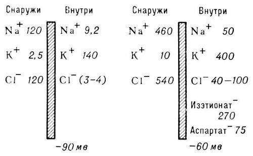 Рис. 1. Концентрации основных электролитов (в ммоль/л) и разности потенциалов между двумя сторонами клеточной мембраны (схема). Мембранная теория возбуждения.