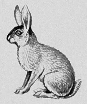 Млекопитающие. Зайцеобразные: Заяц. Млекопитающие.