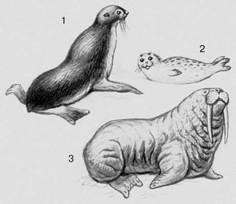 Млекопитающие. Ластоногие: 1 — морской котик; 2 — тюлень; 3 — морж. Млекопитающие.