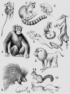 Млекопитающие. Приматы: 1 — долгопят; 2 — лемур коата; 3 — тонкий лори; 4 — шимпанзе; 5 — мартышка; 6 — игрунка; 7 — ревун; 8 — павиан. Грызуны: 9 — дикобраз; 10 — белка; 11 — тушканчик; 12 — слепыш. Млекопитающие.