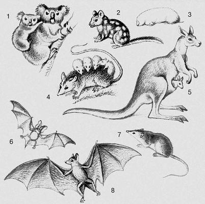 Млекопитающие. Сумчатые: 1 — коала; 2 — сумчатая куница; 3 — сумчатый крот; 4 — опоссум; 5 — кенгуру; 7 — ценолест. Рукокрылые: 6 — ушан; 8 — летучая лисица. Млекопитающие.