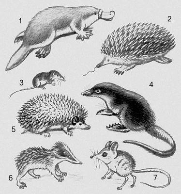 Млекопитающие. Однопроходные: 1 — утконос; 2 — ехидна. Насекомоядные: 3 — землеройка; 4 — выхухоль; 5 — ёж; 6 — тенрек; 7 — прыгунчик. Млекопитающие.