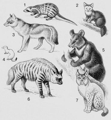 Млекопитающие. Хищные: 1 — циветта; 2 — соболь; 3 — волк; 4 — горностай; 5 — медведь; 6 — гиена; 7 — рысь. Млекопитающие.