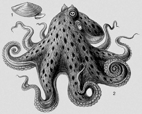 Моллюски. 1 — Yoldia hyperborea; 2 — Octopus vulgaris. Моллюски.