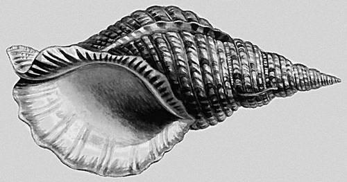 Моллюски. Charonia tritonis. Моллюски.