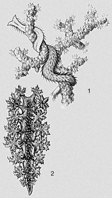 Моллюски. 1 — Echinomenia corallophila; 2 — Dendronotus arborescens. Моллюски.