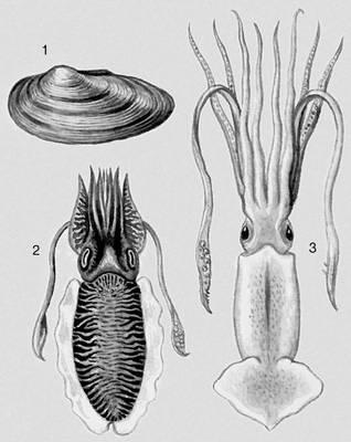Моллюски. 1 — Unio pictorum; 2 — Sepia officinalis; 3 — Kondakovia longimana. Моллюски.