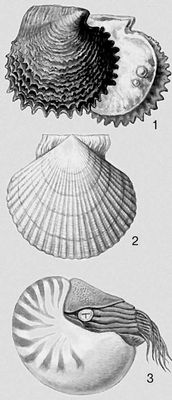 Моллюски. 1 — Pinctada margaritifera; 2 — Mizuhopecten yessoensis; 3 — Nautilus pompilius. Моллюски.