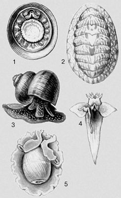Моллюски. 1 — Neopilina galathea; 2 — Tonicella granulata; 3 — Viviparus contectus; 4 — Clione limacina; 5 — Hydatina velum. Моллюски.
