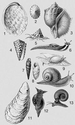 Моллюски. 1 — Haliotis tuberculata; 2 — Acmaea cassis; 3 — Rapana thomasiana; 4 — Conus marmoreus; 5 — Calliostoma zizyphinus; 6 — Limax cinereoniger; 7 — Iphigena ventricosa; 8 — Zebrina cylindrica; 9 — Succinea putris; 10 — Helix pomatia; 11 — Crassostrea gigas; 12 — Lymnaea stagnalis; 13 — Planorbarius corneus. Моллюски.