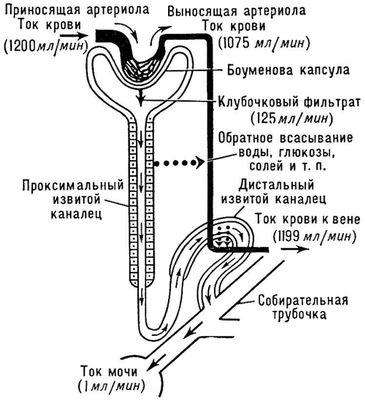 Схема, иллюстрирующая движение жидкости во всех канальцах почки. Мочеобразование.