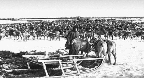 Олени на пастбище в тундре. Ненецкий национальный округ.