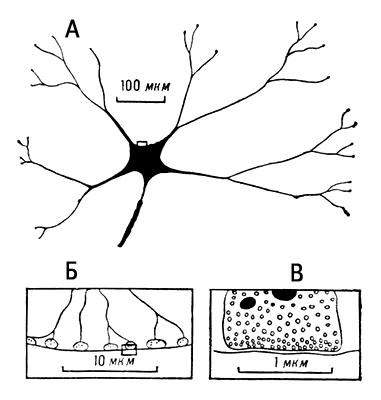 Рис. 3. Схема строения синаптических соединений: А — двигательный нейрон спинного мозга; Б — синаптические окончания отростка нейрона на поверхности двигательного нейрона в увеличенном масштабе (тот же участок обозначен на предыдущей схеме рамкой); В — ультраструктура отдельного синапса, демонстрирующая синаптические пузырьки и митохондрии (дальнейшее увеличение участка, выделенного рамкой). Нервная система.