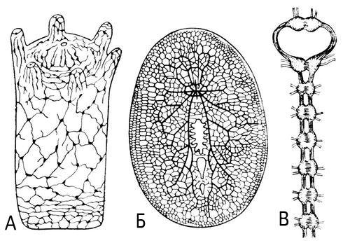 Рис. 1. Основные типы строения нервной системы беспозвоночных: А — диффузная нервная система гидры; Б — диффузно-узловая нервная система турбеллярии; В — узловая центральная нервная система дождевого червя. Нервная система.