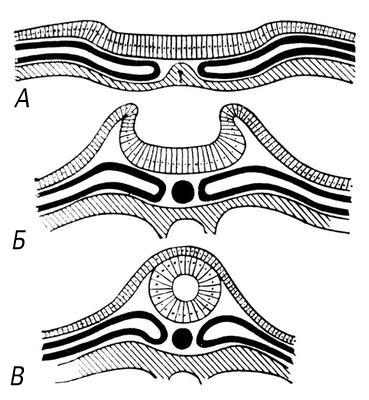 Рис. 2. Схема эмбрионального развития мозговой трубки у позвоночных животных: А — нервная пластинка; Б — желобок; В — нервная трубка. Нервная система.