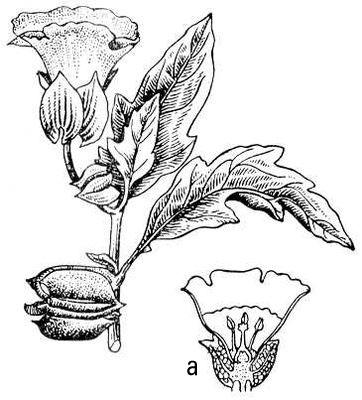 Никандра физалисовидная; а — цветок в разрезе. Никандра.