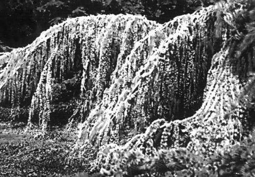 Никитский ботанический сад. Кедр атласский сизый плакучий (Cedrus atlantica var glauca pendula), садовая форма. Никитский ботанический сад.