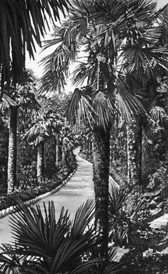 Никитский ботанический сад. Аллея из пальм (Trachycarpus fortunei); родина субтропики Китая, Кореи, Японии. Никитский ботанический сад.