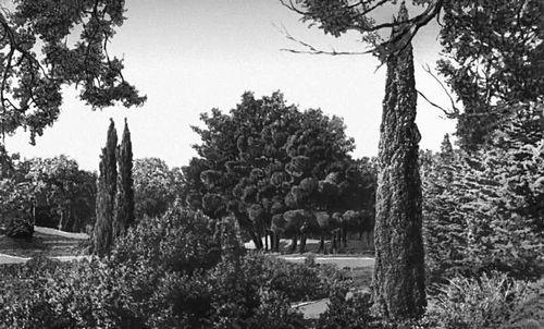 Никитский ботанический сад. Сосна Станкевича (Pinus stankeviczii) в новом парке на мысе Монтодор. Никитский ботанический сад.