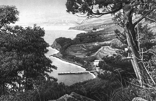 Никитский ботанический сад. Можжевельник древовидный (Juniperus excelsa); родина Средиземноморье. Никитский ботанический сад.