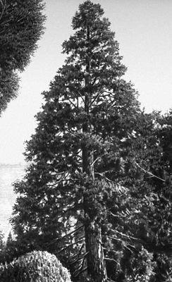Никитский ботанический сад. Секвойядендрон (Sequoiadendron giganteum); родина Калифорния. Никитский ботанический сад.