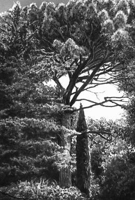Никитский ботанический сад. Сосна итальянская (Pinus pinea) и кипарис вечнозелёный пирамидальный (Cupressus sempervirens var stricta); родина Средиземноморье. Никитский ботанический сад.
