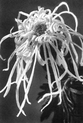 Никитский ботанический сад. Хризантема «Подруги высокого солнца», сорт иностранной селекции. Никитский ботанический сад.