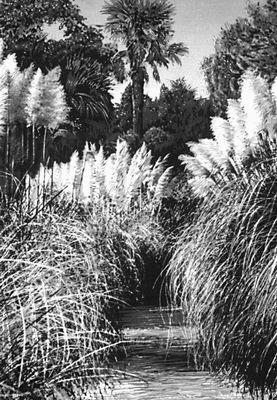 Никитский ботанический сад. Пампасская трава (Cartaderia argentina); родина Южная Америка. Никитский ботанический сад.