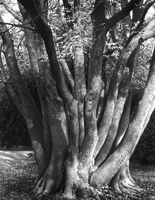 Никитский ботанический сад. Дзельква граболистная (Zelkova carpinifolea); родина Северный Иран, Закавказье. Никитский ботанический сад.