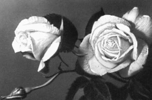 Никитский ботанический сад. Роза «Золотая осень», сорт селекции Никитского ботанического сада. Никитский ботанический сад.