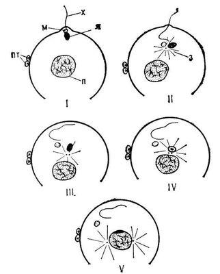 Рис. 3. Оплодотворение у морского ежа: I—IV — последовательные стадии преобразования спермия и формирования мужского пронуклеуса; V — слияние пронуклеусов; з — сперматическая звезда, м — митохондрия из средней части спермия, п — женский пронуклеус, пт — полярные тельца, х — хвостовой отдел спермия, я — ядро спермия. Оплодотворение.