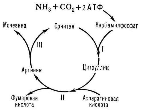 Рис. к ст. Орнитиновый цикл. Орнитиновый цикл.