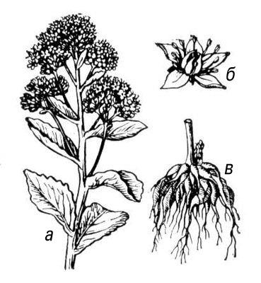 Очиток пурпуровый: а — верхняя часть растения; б — цветок; в — клубневидные корни. Очиток.