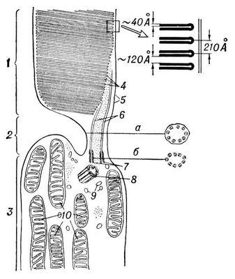 Ультраструктура наружного и внутреннего сегментов палочковой клетки кролика (схема): 1 — наружный сегмент; 2 — соединительное волокно; 3 — внутренний сегмент; 4 — диски наружного сегмента (справа вверху — при увеличении); 5 — наружная мембрана клетки; 6 — нити реснички; 7, 8 — центриоли (а, б — поперечные разрезы); 9 — эндоплазматическая сеть; 10 — митохондрии. Палочковые клетки.