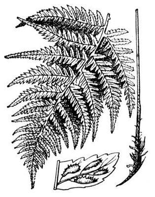 Папоротник женский; внизу — сегмент с сорусами. Папоротник женский.