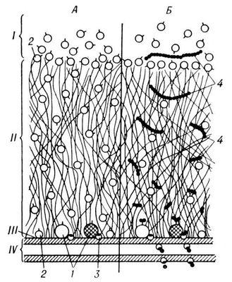 Рис. 3. Собственно кишечные и адсорбированные из полости тонкой кишки ферменты при мембранном пищеварении (схематическое изображение фрагмента внешней поверхности микроворсинки): А — распределение ферментов; Б — взаимоотношение ферментов, переносчиков и субстратов; I — полость тонкой кишки; II — гликокаликс; III — поверхность мембраны; IV — трёхслойная мембрана кишечной клетки; 1 — собственно кишечные ферменты; 2 — адсорбированные ферменты; 3 — переносчики; 4 — субстраты. Пищеварение.
