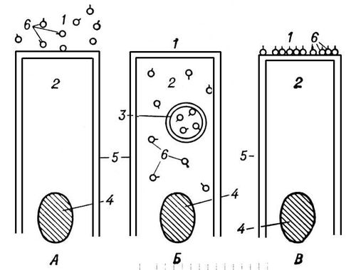 Рис. 1. Локализация гидролиза пищевых веществ при различных типах пищеварения: А — внеклеточное, дистантное; Б — внутриклеточное и В — мембранное пищеварение; 1 — внеклеточная жидкость; 2 — внутриклеточная жидкость; 3 — внутриклеточная вакуоль; 4 — ядро; 5 — клеточная мембрана; 6 — ферменты. Пищеварение.