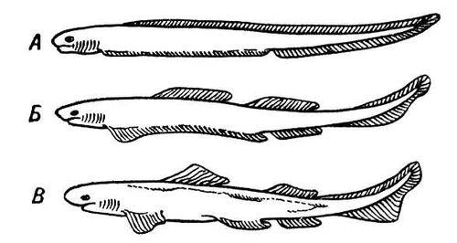 Рис. 1. Три последовательные стадии (А, Б, В) образования непарных и парных плавников (схема). Плавники.
