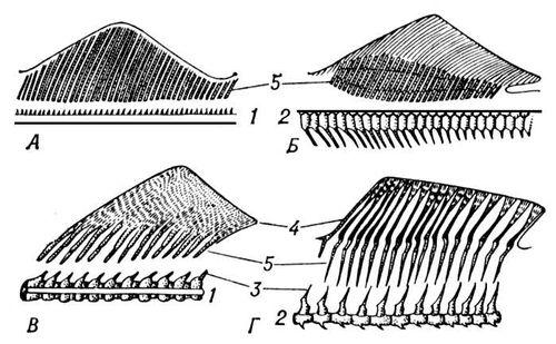 Рис. 2. Скелет непарных плавников круглоротых (А), акул (Б), осетровых (В) и костных (Г) рыб (схемы): 1 — хорда; 2 — тела позвонков; 3 — остистые отростки; 4 — кожные лучи; 5 — лучи внутреннего скелета. Плавники.