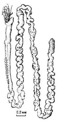 Погонофора Choanophorus indicus (самец). Внешний вид животного, вынутого из трубки. Погонофоры.