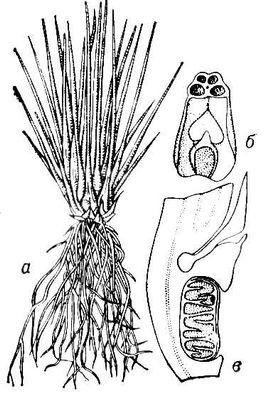 Полушник озерный: а — общий вид; б — нижняя часть спорангиеносного листа; в — то же в разрезе. Полушник.