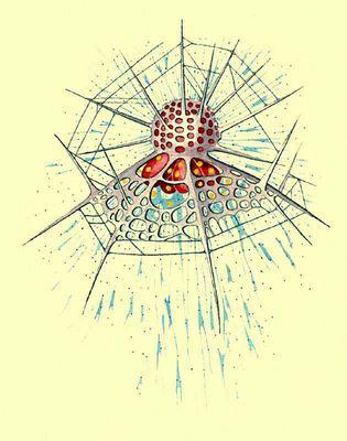 Радиолярия. Arachnocoris circumtexta. Простейшие.
