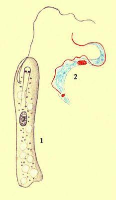 Простейшие. Жгутиконосцы: 1 — Peranema trichoforum; 2 — Trypanosoma lewisi. Простейшие.